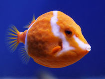 Flame or White Barred boxfish Anoplocapros lenticularis Royalty Free Stock Photos