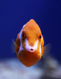 Flame or White Barred boxfish Anoplocapros lenticularis Stock Photos