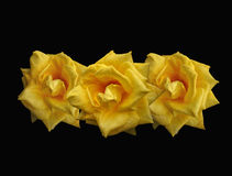 Flame yellow roses Royalty Free Stock Image