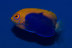 Flameback Angelfish. The Flameback Angelfish, also known as the African Pygmy Angelfish or Orangeback Angelfish, has striking contrasts of blue and orange-yellow royalty free stock photo