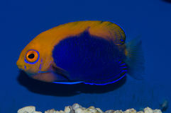 Flameback Angelfish. The Flameback Angelfish, also known as the African Pygmy Angelfish or Orangeback Angelfish, has striking contrasts of blue and orange-yellow Stock Photos