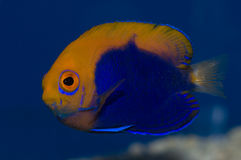 Flameback Angelfish. The Flameback Angelfish, also known as the African Pygmy Angelfish or Orangeback Angelfish, has striking contrasts of blue and orange-yellow Stock Images