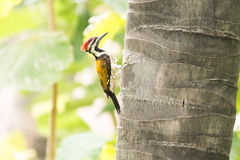 Flameback rumped чернотой Стоковое Изображение