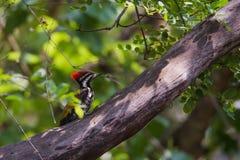 Flameback-Specht auf Baum Stockfoto