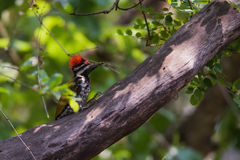 Flameback woodpecker on branch Stock Image