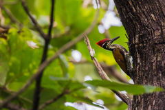 Flameback woodpecker Royalty Free Stock Image