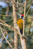 Flameback woodpecker Stock Images