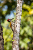 Flameback woodpecker hunting Stock Photos