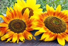 Flamed sunflowers Royalty Free Stock Photo