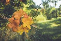 Flamee las flores anaranjadas de la floración de la azalea en última primavera en la oscuridad en el ajuste del vintage Fotografía de archivo