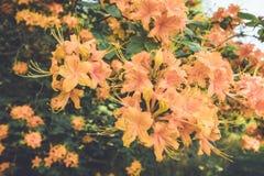 Flamee las flores anaranjadas de la floración de la azalea en última primavera en la oscuridad en el ajuste del vintage Imagen de archivo