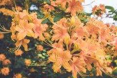 Flamee las flores anaranjadas de la floración de la azalea en última primavera en la oscuridad en el ajuste del vintage Imagenes de archivo
