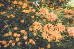 Flamee las flores anaranjadas de la floración de la azalea en última primavera en la oscuridad en el ajuste del vintage Fotos de archivo