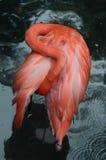 Flamenco Foto de archivo