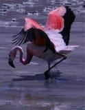 Flamenco Fotografía de archivo libre de regalías