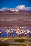 flamenco Foto de archivo libre de regalías
