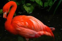 Flamenco Imagen de archivo