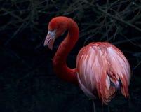 Flamenco americano Imagen de archivo libre de regalías
