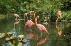 Flamenco che cerca alimento e che gioca nel lago fotografia stock libera da diritti