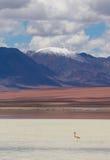 Flamenco, colocándose en el lago, Bolivia foto de archivo