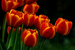 Flamenco. Colorful tulips flowers in the spring garden Stock Image