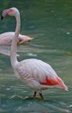Flamenco de la rosa del blanco en un parque zoológico Fotos de archivo