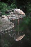 Flamenco del pájaro que permanece en el agua Fotos de archivo