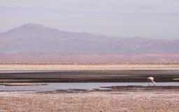 Flamenco en Atacama Imagen de archivo libre de regalías