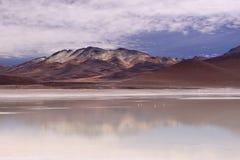Flamenco en Blanca de Laguna, Bolivia Foto de archivo libre de regalías