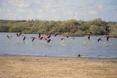 Flamenco en Bonaire Imagen de archivo libre de regalías