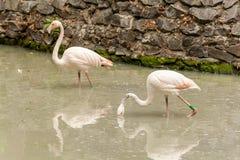 Flamenco en el agua potable del lago Fotografía de archivo libre de regalías