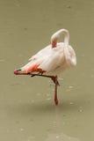 Flamenco en el agua potable del lago Foto de archivo