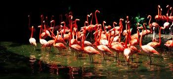 Flamenco en el lago Foto de archivo libre de regalías