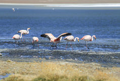 flamenco en el lago de sal, Bolivia Imagenes de archivo