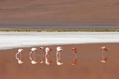 Flamenco en la Laguna Colorado Bolivia imagenes de archivo