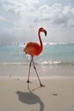 Flamenco en la playa Fotografía de archivo libre de regalías