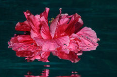 Flamenco-erster Teil lizenzfreie stockbilder