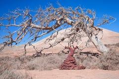 Flamenco i nieżywy drzewo zdjęcie royalty free