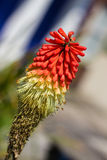 Flamenco Red Hot Poker. A close up of a flamenco red hot poker flower stock photography