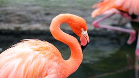 Flamenco rojo único en un lago, alta foto de la definición de este aviar maravilloso en Suramérica fotografía de archivo