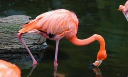 Flamenco rojo único en un lago, alta foto de la definición de este aviar maravilloso en Suramérica fotos de archivo