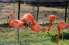 Flamenco rojo en el jardín zoológico y botánico de Kumamoto Fotografía de archivo libre de regalías