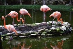 Flamenco, rosa, pájaros, zonas tropicales, Yucatán, México Foto de archivo libre de regalías