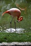 Flamenco, rosa, pájaros, zonas tropicales, Yucatán, México Fotografía de archivo