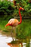 Flamenco rosado Imagenes de archivo