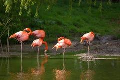 Flamenco rosado Fotos de archivo libres de regalías