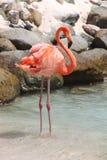 Flamenco rosado Imagen de archivo libre de regalías