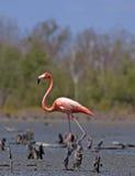 Flamenco rosado Foto de archivo libre de regalías