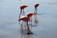 Flamenco rosado Imagen de archivo