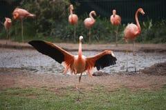 Flamenco rosado con las alas separadas Foto de archivo